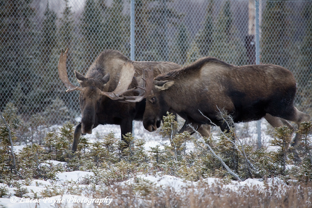 Bull Moose sparring near Ted Stevens International Airport in Anchorage, Alaska.<br /> November 14, 2008