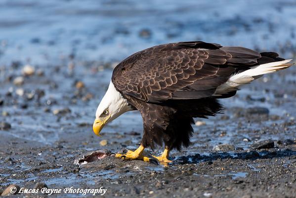 Bald Eagle feeding on fish along the Shore of Cook Inlet at Clam Gulch, Kenai Peninsula, Alaska.<br /> <br /> May 04, 2014