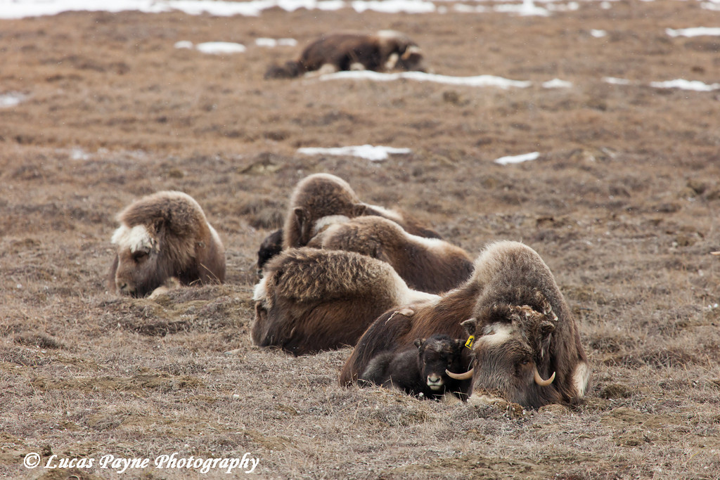 Muskox family laying on the tundra in the Prudhoe Bay Oilfield, North Slope, Arctic Alaska<br /> May 26, 2012