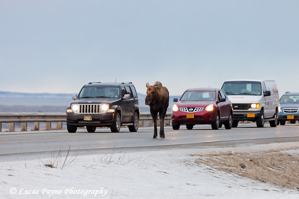 A moose walking on the Seward Highway delays traffic at McHugh Creek, Chugach State Park<br /> February 17, 2012