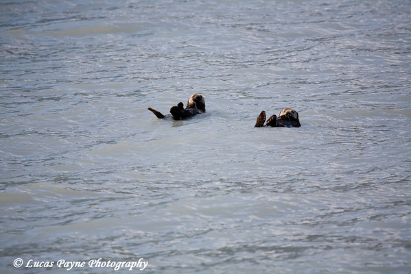 Sea Otters floating in Resurrection Bay in Southcentral Alaska.<br /> August 2009