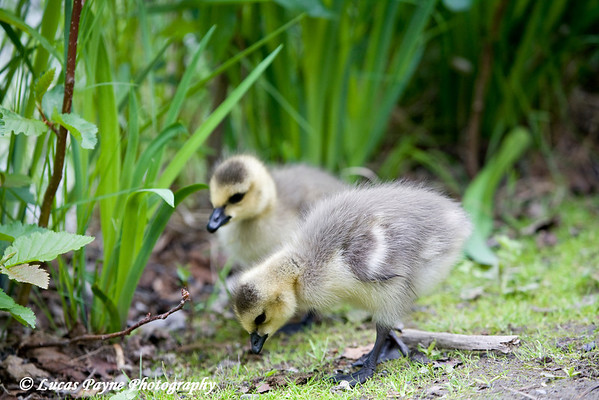 Canada Goose Goslings at Cheney Lake in Anchorage.<br /> June 11, 2010