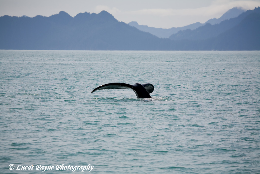 Humpback Whale diving down into Resurrection Bay in Southcentral Alaska.<br /> August 2009