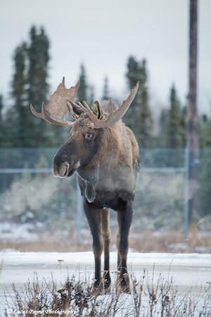 Bull Moose near Ted Stevens International Airport in Anchorage, Alaska.<br /> November 14, 2008