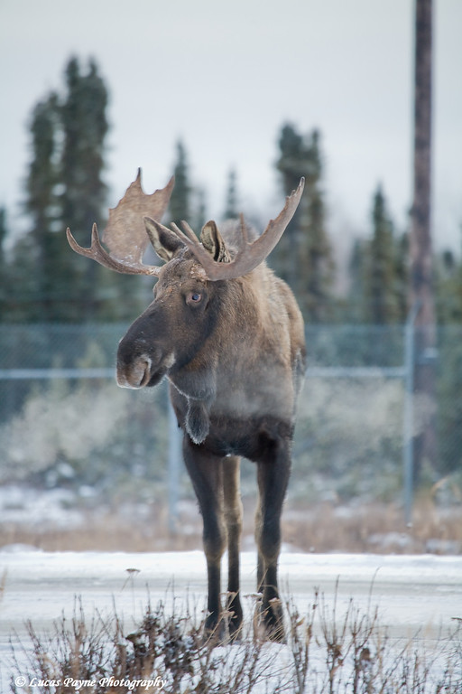Bull Moose near Ted Stevens International Airport in Anchorage, Alaska.<br /> November 14, 2008