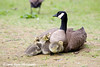 Canada Goose Mother and Goslings at Cheney Lake in Anchorage.<br /> June 11, 2010