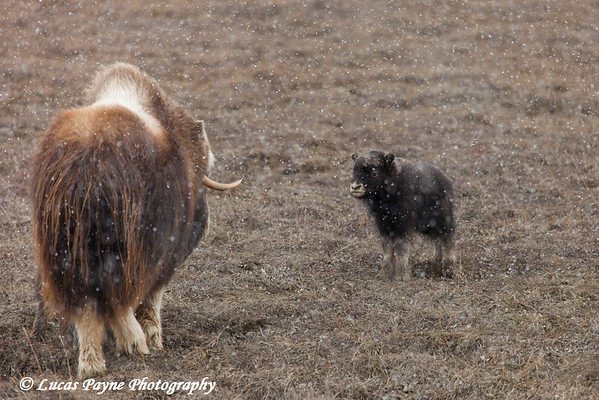 Adult Muskox and calf on the tundra with snow falling in the Prudhoe Bay Oil Field, North Slope, Arctic Alaska<br /> May 26, 2012