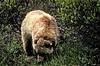 AK-1991-s118a Denali bear