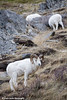 Dall Sheep along the Seward Highway and Turnagain Arm.<br /> December 05, 2009