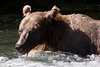Brown Bear fishing at Russian River Falls on the Kenai Peninsula in Alaska. I was about 30-40 feet away from this bear and when I zoomed in on a couple of the images you could see the bear was looking right over at me. <br /> July 17, 2010