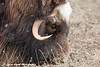 Close up of a Muskox grazing on the tundra in the Prudhoe Bay Oilfield, North Slope, Arctic Alaska<br /> May 26, 2012