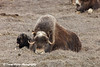 Muskox family laying on the tundra in the Prudhoe Bay Oilfield, North Slope, Arctic Alaska,<br /> May 25, 2012