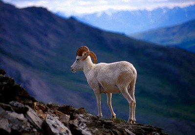 Dall's sheep ram in the Alaska Range.