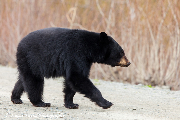 A young Black Bear walking along Arctic Valley Road in Chugach State Park<br /> Anchorage, Alaska<br /> May 11, 2012