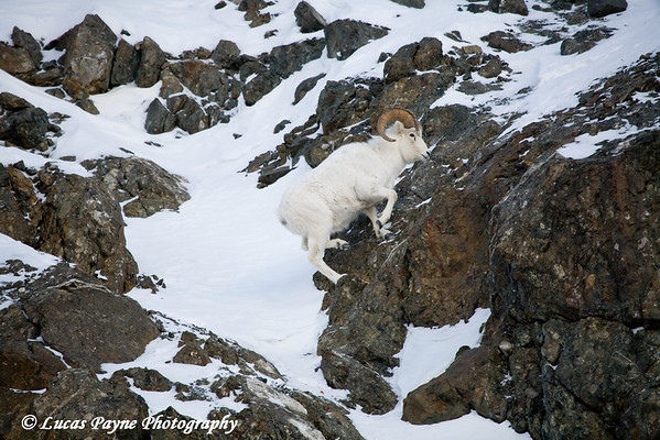 Dall Sheep Ram jumping rocks in the Chugach Mountains along the Seward Highway and Turnagain Arm in Alaska. <br /> January 04, 2008
