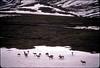 AK-1991-s054a Denali caribou snow
