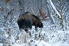 Bull Moose along the Costal Trail in Anchorage, Alaska.<br /> December 08, 2008