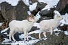 Dall Sheep Ram & Ewe in the Chugach Mountains along the Seward Highway and Turnagain Arm in Alaska. <br /> January 04, 2008