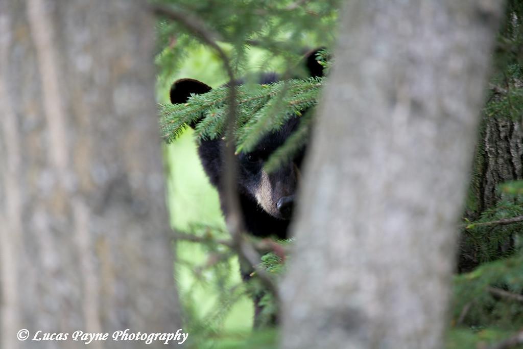 Black Bear Cub near Alaska Lighting and Supply in Anchorage, Alaska.<br /> June 5, 2009