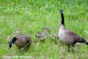 Canada Geese and Goslings at Cheney Lake in Anchorage.<br /> June 11, 2010