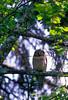 AK-1988-s096a hawk owl Kroto Lk Jul-11