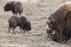 Muskox family grazing on the tundra in the Prudhoe Bay Oilfield, North Slope, Arctic Alaska<br /> May 25, 2012