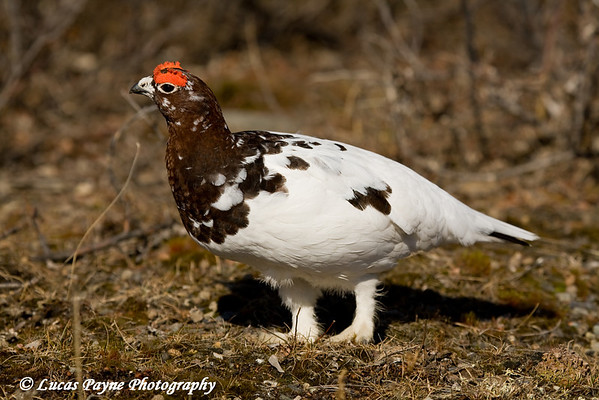 Willow Ptarmigan in Denali National Park, Alaska<br /> May 2, 2009