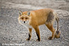 Red Fox on the North Slope in Alaska.<br /> April 20, 2010