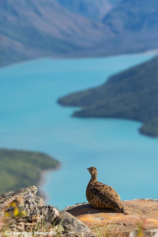 Willow Ptarmigan on a rock overlooking Eklutna Lake, Southcentral Alaska<br /> <br /> August 20, 2015