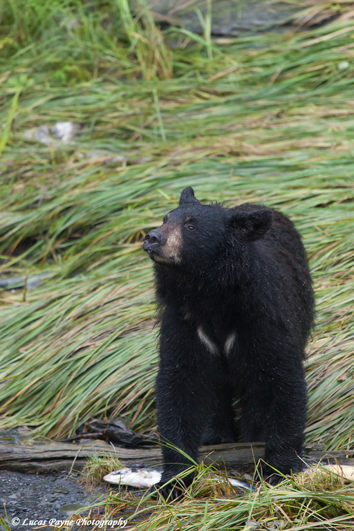 Black bear feeding on pink salmon along Dayville Road in Valdez, Southcentral Alaska.<br /> <br /> September 02, 2013