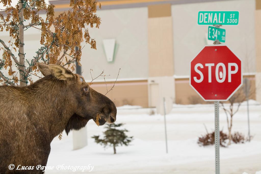 Moose along Denali Street in Anchorage, Alaska<br /> February 14, 2009