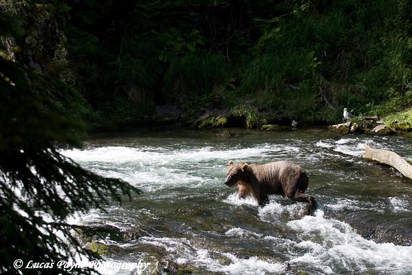 Brown Bear fishing at Russian River Falls on the Kenai Peninsula in Alaska.<br /> July 17, 2010