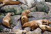 Steller Sea Lions along the shores of Resurrection Bay in Southcentral Alaska.<br /> August 2009