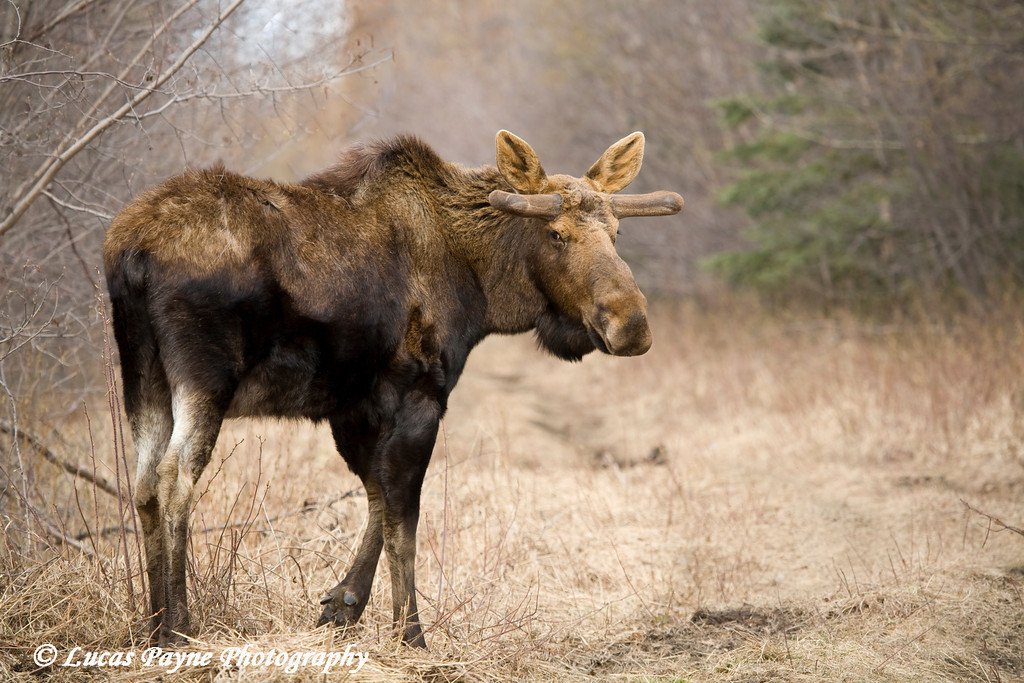 Bull Moose along Knik River Road.<br /> May 05, 2010