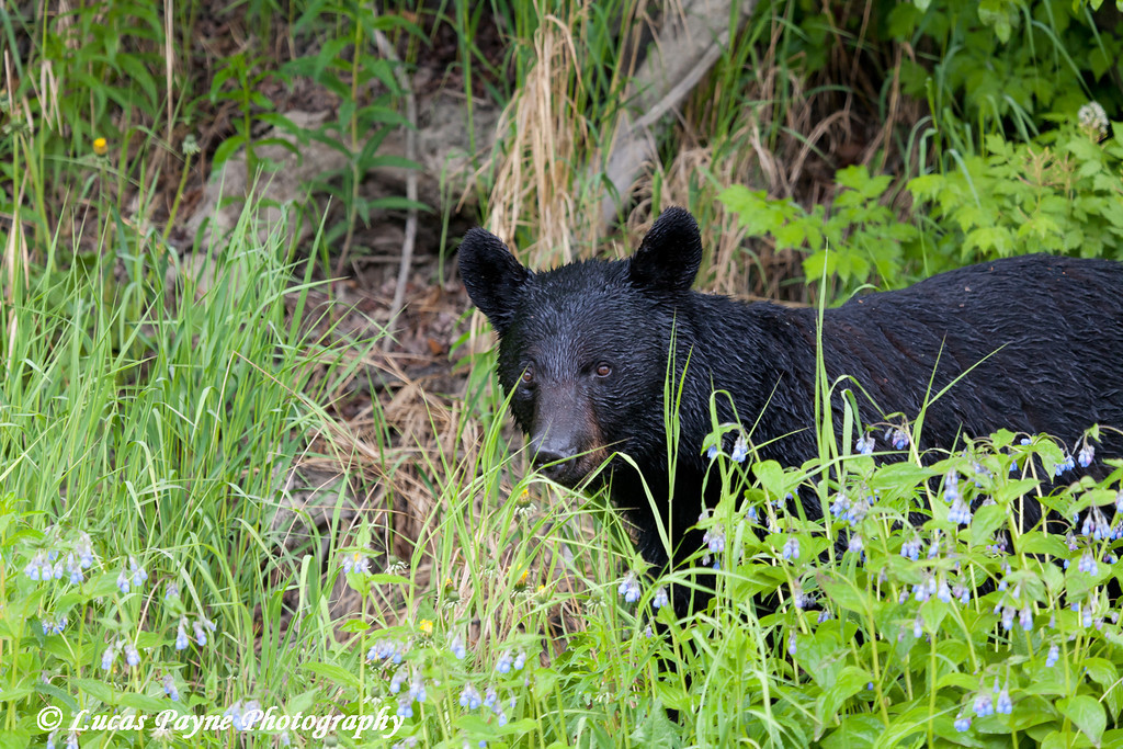 Black Bear along Arctic Valley Road near Anchorage, Alaska<br /> June 14, 2011