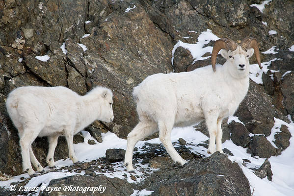 Dall Sheep Ram & Ewe in the Chugach Mountains along the Seward Highway and Turnagain Arm in Alaska. <br /> January 04, 2008