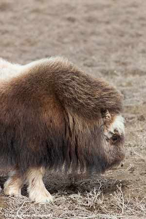 Close up of a muskox in the Prudhoe Bay Oilfield, North Slope, Arctic Alaska<br /> May 25, 2012