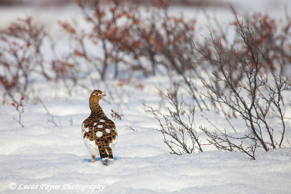 Alaska's state bird, the Willow Ptarmigan with changing plumage standing on snow along the Denali Highway<br /> May 17, 2012