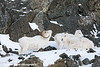 Dall Sheep Ram & Ewes in the Chugach Mountains along the Seward Highway and Turnagain Arm in Alaska. <br /> January 04, 2008