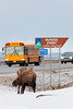 A moose standing near the McHugh Creek sign with traffic passing by on the Seward Highway, Chugach State Park<br /> February 17, 2012