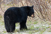 A young Black Bear along Arctic Valley Road in Chugach State Park<br /> Anchorage, Alaska<br /> May 15, 2012