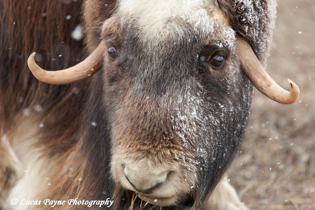 Close up of a Muskox in the Prudhoe Bay Oilfield, North Slope, Arctic Alaska<br /> <br /> May 26, 2012