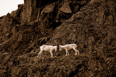 Male Dall's sheep squaring off during the autumn rut in the Chugach Mountains.