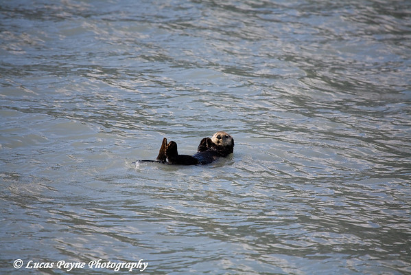Sea Otter floating in Resurrection Bay in Southcentral Alaska.<br /> August 2009