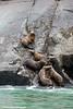 Steller Sea Lions resting in a rookery along Lynn Canal, Inside Passage, Southeast Alaska.<br /> <br /> July 03, 2014