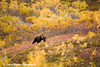 Grizzly Bear in Denali National Park.<br /> September 06, 2010