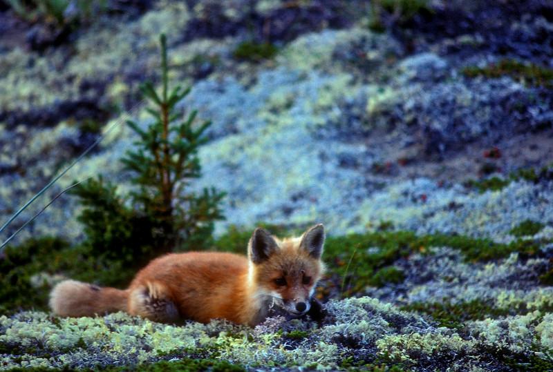 Red fox at its den on Kukaklik Lake.