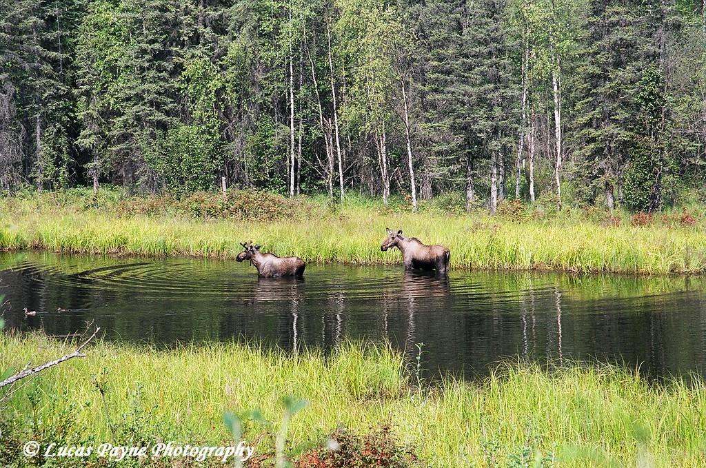 Moose in the water near Chena Hot Springs, Alaska