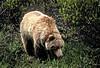 AK-1991-s121a Denali bear