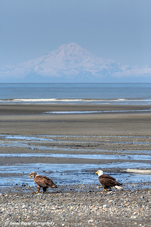 Two Bald Eagles along the shore of Cook Inlet at Clam Gulch with Mt. Redoubt in the background, Kenai Peninsula, Alaska.<br /> <br /> May 04, 2014